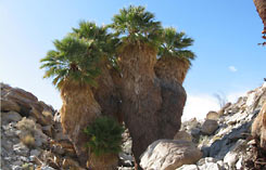 Fan Palm oasis on southwest vacation
