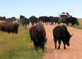 Bison herd crossing road