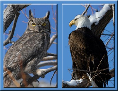 bald eagle and owl