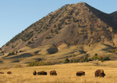 Bear Butte Buffalo Herd