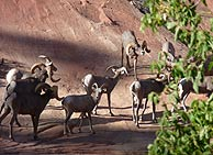 bighorn sheep on the wildlife & wild west history tour
