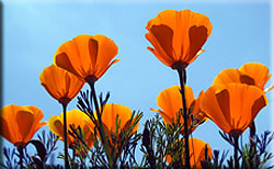 flowering california poppies