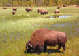 Bison Herd in Yellowstone N.P.