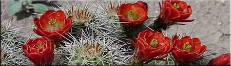 cacti in bloom - southwest vacation schedule pages