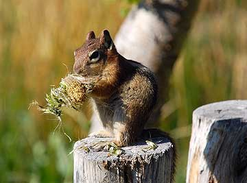 Chipmunk nibbling dandelion.