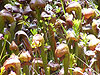 Darlingtonia  Carnivorous Plant