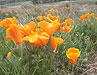 Poppy Preserve