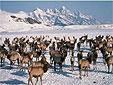 Jackson Elk Refuge