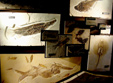 Fish Fossils