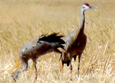 Sandhill Cranes at Grays Lake N.W.R.