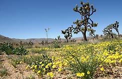 California Nature Tours, Joshua Tree NP