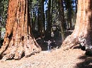 Mariposa Grove Sequoias