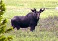 Giant Moose