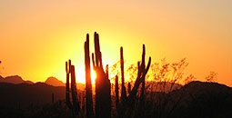 Organ Pipe Cactus N.M., Sunset