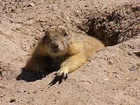 sonora-marmot