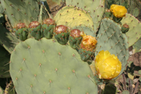 blooming prickly pear cactus on southwest adventure tour