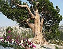 Tioga Pass cedar tree