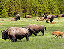 Yellowstone bison and wild animals