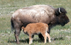 Wildlife tours, bison